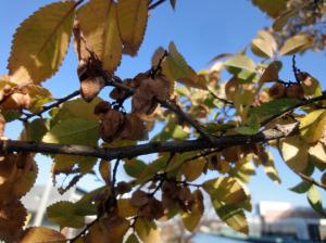 アキニレの黄葉と翼果