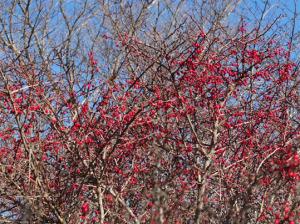 メギの紅い実