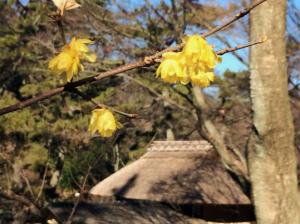 茅葺き屋根とロウバイの花