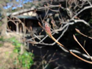 ミツバツツジの冬芽