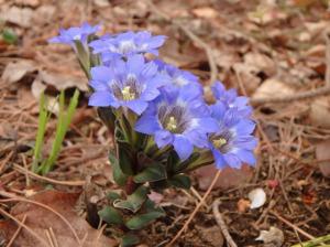 フデリンドウの花