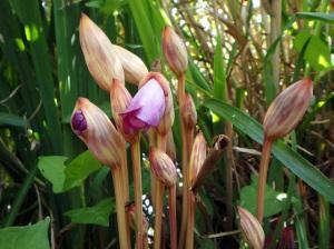 ナンバンギセルの開花
