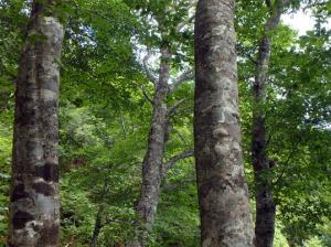 平標山のブナの林