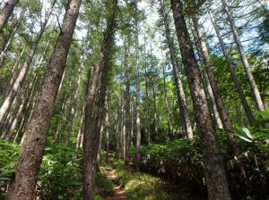 平標山麓に広がるカラマツ林