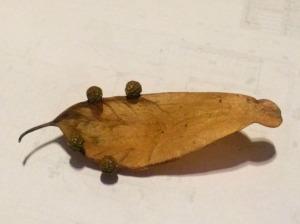 アオギリの種子