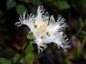 シラヒゲソウの花