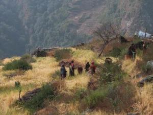 nepal 麦の刈取り