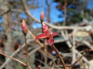 ミツバツツジの冬芽・花芽