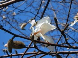 石神井川沿いのコブシ