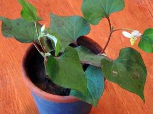 ドクダミの鉢植え