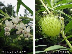 フウセントウワタの花と実