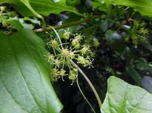 シオデの雄花