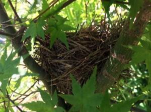 イロハカエデに作ったメジロの巣