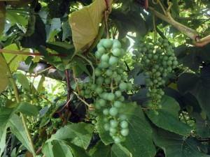ヤマブドウの若い実