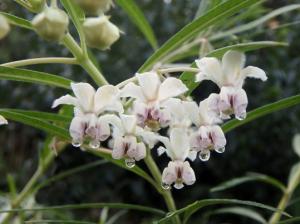 フウセントウワタの花