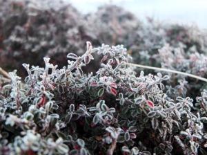 霜の降りた高原の草
