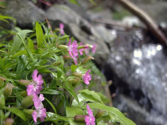 ビランジの花