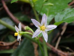 イヌホウズキの花