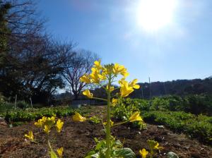 菜の花・セイヨウアブラナ