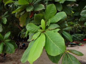 モモタマナの穂状花序